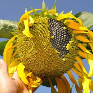 benefits of eating sunflower seeds